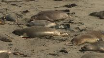 Elephant Seals Rest On Beach, Big Sur Coastline