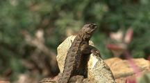 Lizard On Rock, Runs Away, Big Sur
