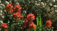 Indian Paintbrush Among Yarrow Flowers, Big Sur