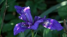 Iris Flower, Big Sur