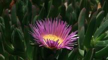 Ice Plant Flower Close-Up, Big Sur Coastline