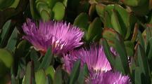 Succulents And Ice Plant, Big Sur