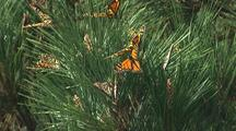 Monarch Butterflies Rest In Pine Tree