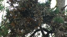 Monarch Butterflies Swarm