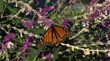 Monarch Butterfly Rests On Mexican Sage Plant Then Flies Away
