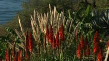 Aloe Flowers And Pampas Grass Above Coastline