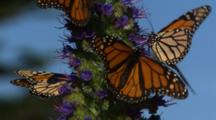 Monarch Butterflies On Purple Flowers