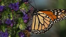 Monarch Butterfly And Bees On Purple Flowers