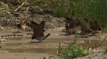 Cliff Swallows Collect Mud In Stream