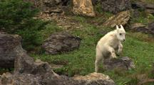 Young Mountain Goat Feeds, Jumps Over Rock