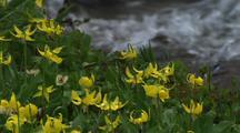 Glacier Lily Wildflowers Next To Creek