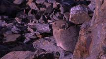 Small Mammal On Rocks, Probably A Pika