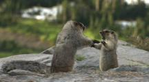 Hoary Marmots Fighting