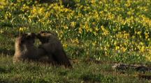 Marmots Fighting In Field Of Flowers