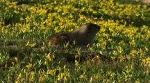 Marmot Feeds In Field Of Flowers