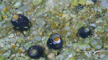 Hermit Crabs In Tide Pool