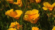 California Poppy Wildflowers