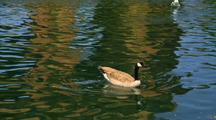 Canada Goose In A Pond