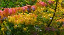 Panorama Of Branch Of Red And Yellow Leaves