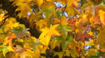 Panorama Of Branch Of Red, Green And Yellow Leaves