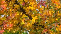 Panorama Of Branches Of Red, Green And Yellow Leaves