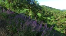 Lupine In Green Hills