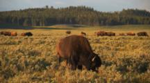 Close Up Of Herd Of Bison Grazing, Zoom Out
