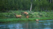 Grazing Elk At River Edge