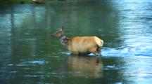 Female Elk Crosses A River