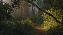 Walking Through Redwood Forest As Sun Rays Stream Through
