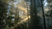 Redwood Forest With Sun Rays Streaming Through
