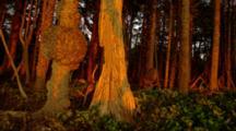 Trees Light Up Golden From Sunset