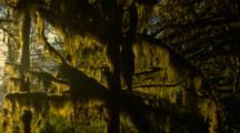 Morning Light Illuminates Hanging Moss
