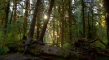 Morning Light In Temperate Rainforest