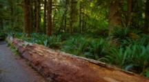 Fallen Log Among Ferns In Temperate Rainforest