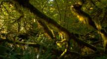 Morning Light Illuminates Hanging Moss In Forest