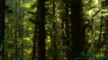 Dense Temperate Rainforest