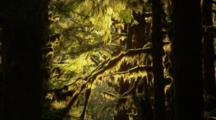 Sunlight Illuminates Hanging Moss In Forest