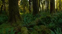Steadicam Walk Through Hoh Rainforest