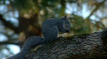Grey Squirrel Sits In Tree Eating Nuts