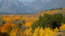 Fall Trees In Front Of Mt. Moran