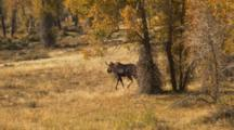 Moose Walks In Forest Of Fall Colors
