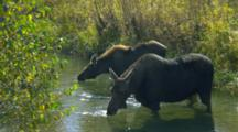 Female Moose And Offspring Drink In Stream