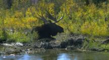Male Moose Lies In Stream