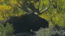Male Moose Lies In Stream