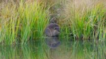 Beaver Drinks At Shore Near Schwabacher Landing