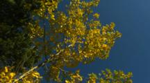 Looking Up At Leaves In Birch Forest