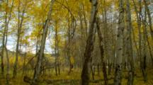 Leaves Falling In Windy Birch Forest