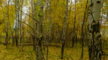 Leaves Falling In Windy Birch Forest
