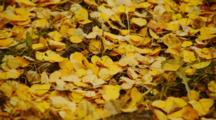 Golden Birch Leaves On Ground